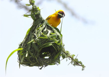 Vitaline weaverbird, Tanzania ©KathyWestStudios