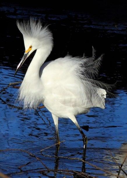 Snowy egret display, Davis, CA ©KathyWestStudios