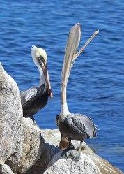 Pelican swallowing, Monterey ©KathyWestStudios