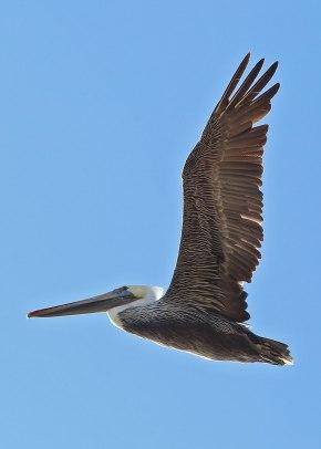Pelican in flight, Monterey ©KathyWestStudios
