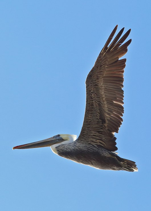 Pelican in flight, Monterey ©KathyWestStudios