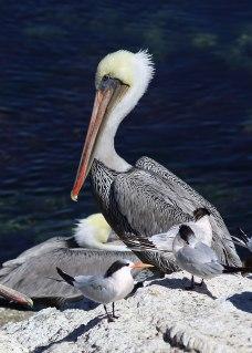 Pelican, Monterey ©KathyWestStudios
