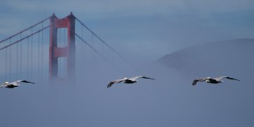 Pelicans and Golden Gate Bridge, California ©KathyWestStudios