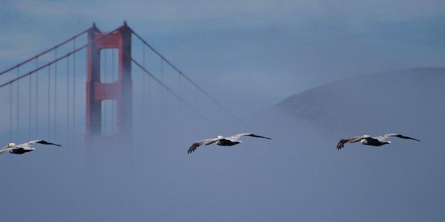 Pelicans and Golden Gate Bridge, California ©KathyWestStudios