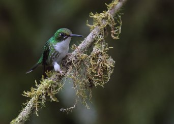 White-booted racket-tail (Ocreatus underwoodii), Ecuador