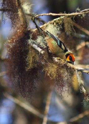 Flame faced tanager, cloud forest, Ecuador
