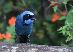 Turquoise jay (Cyanolyca turcosa), cloud forest, Ecuador
