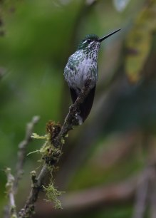 Booted racket tail, female, Cloud forest, Ecuador ©KathyWestStudios