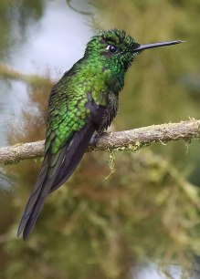 Green-crowned Brilliant (Heliodoxa jacula) Ecuador