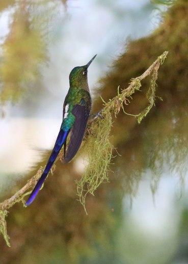 Violet tailed sylph, Ecuador
