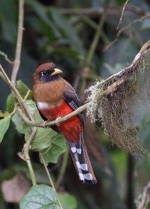 Masked trogon, cloudforest, Ecuador