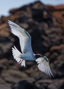 Swallow-tailed gull (Creagrus furcatus), Galapagos Islands
