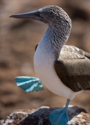 Blue footed booby dance, Galapagos Islands ©KathyWestStudios