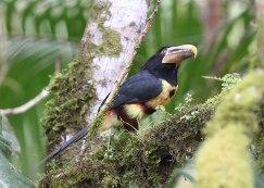 Ivory billed Aracari, Ecuador ©KathyWestStudios