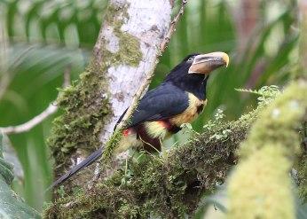 Ivory billed Aracari, Ecuador