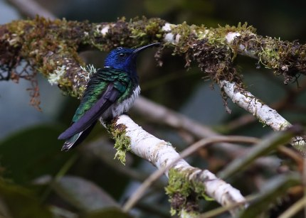 White necked jacobin, Ecuador