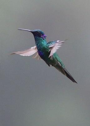 Sparkling violetear (Colibri coruscans) Ecuador