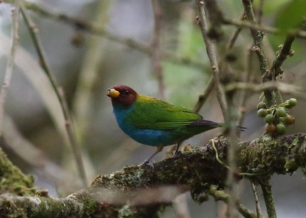 Bay headed tanager, Ecuador ©KathyWestStudios