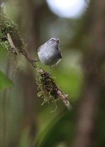 juvenile flycatcher, Ecuador ©KathyWestStudios
