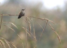 Speckled hummingbird, Ecuador ©KathyWestStudios