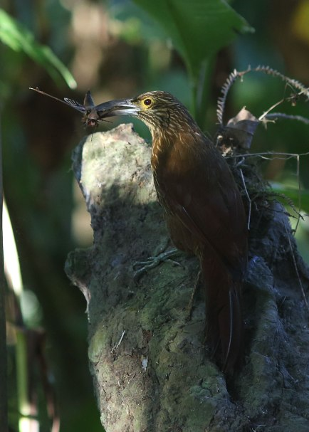 Strong billed woodcreeper, Ecuador ©KathyWestStudios
