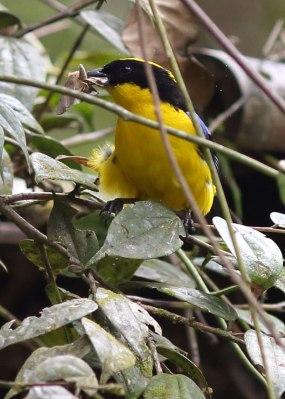 Mountain tanager hunting, Ecuador ©KathyWestStudios