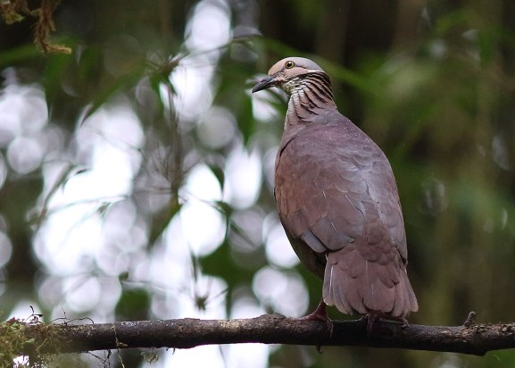 Pigeon, Ecuador