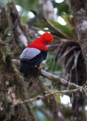 Cock-of-the-rock, Ecuador