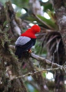 Andean cock-of-the-rock (Rupicola peruvianus), Ecuador