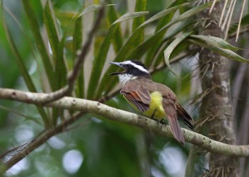 Kiskadee, Ecuador