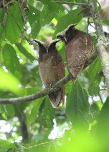 Crested owl pair, Ecuador