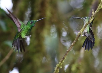 Green-crowned Brilliant (Heliodoxa jacula), Ecuador