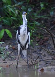 Cocoi heron, Galapagos Islands ©KathyWestStudios