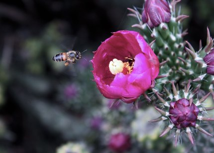 Cactus flower and bee, Davis California ©KathyWestStudios