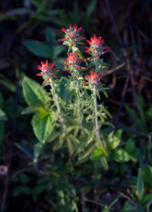 Cloud forest Paintbrush, Ecuador ©KathyWestStudios