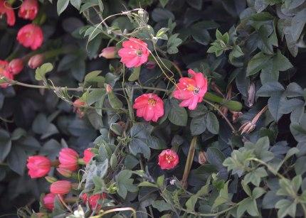 Passionflowers, Paramo Ecuador ©KathyWestStudios