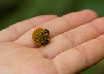 Seedpod, Tiputini Biodiversity Station ©KathyWestStudios