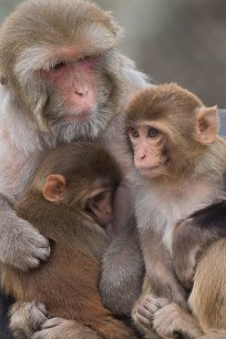 A female rhesus monkey with her yearling suckling and her older juvenile sitting close. Taken at CNPRC–UCD 2015.