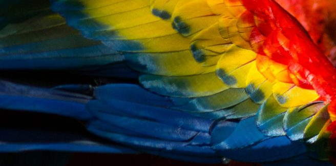 Macaw feather closeup ©KathyWestStudios