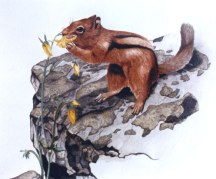 Watercolor illustration, Golden mantled ground squirrel. 1981 ©KathyWestStudios