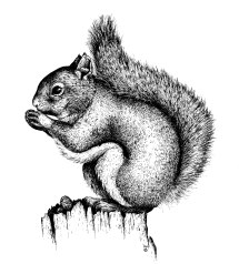 Pen and ink illustration. Chickaree squirrel. 1992 ©KathyWestStudios