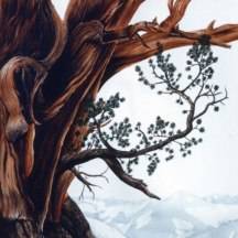 Watercolor illustration of Bristlecone pine (Pinus longaeva) in Sierra Nevada mountains. Commission by UC Davis, 1984 ©KathyWestStudios