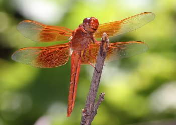 Flame skimmer dragonfly, Davis, California ©KathyWestStudios