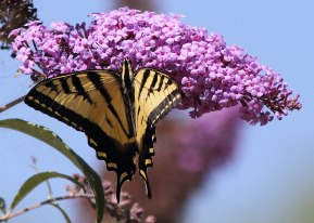 Butterfly and butterfly bush, Davis, California ©KathyWestStudios