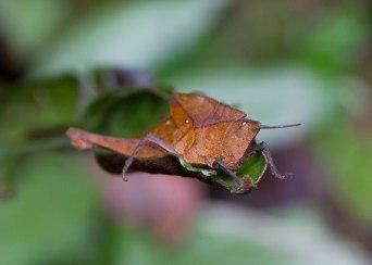 Butterfly disguise, Tiputini, Ecuador
