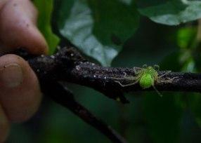 Green spider, Tiputini Biodiversity Station©KathyWestStudios