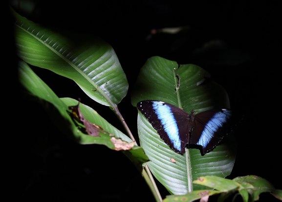 Morpho butterfly, Tiputini Biodiversity Station ©KathyWestStudios