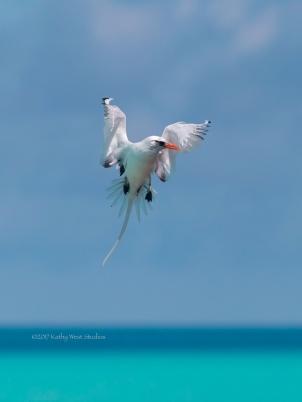 White-tailed Tropicbird (Phaethon lepturus) hovering