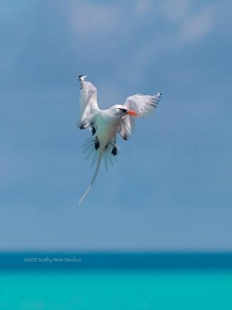 White-tailed Tropicbird (Phaethon lepturus), Bermuda