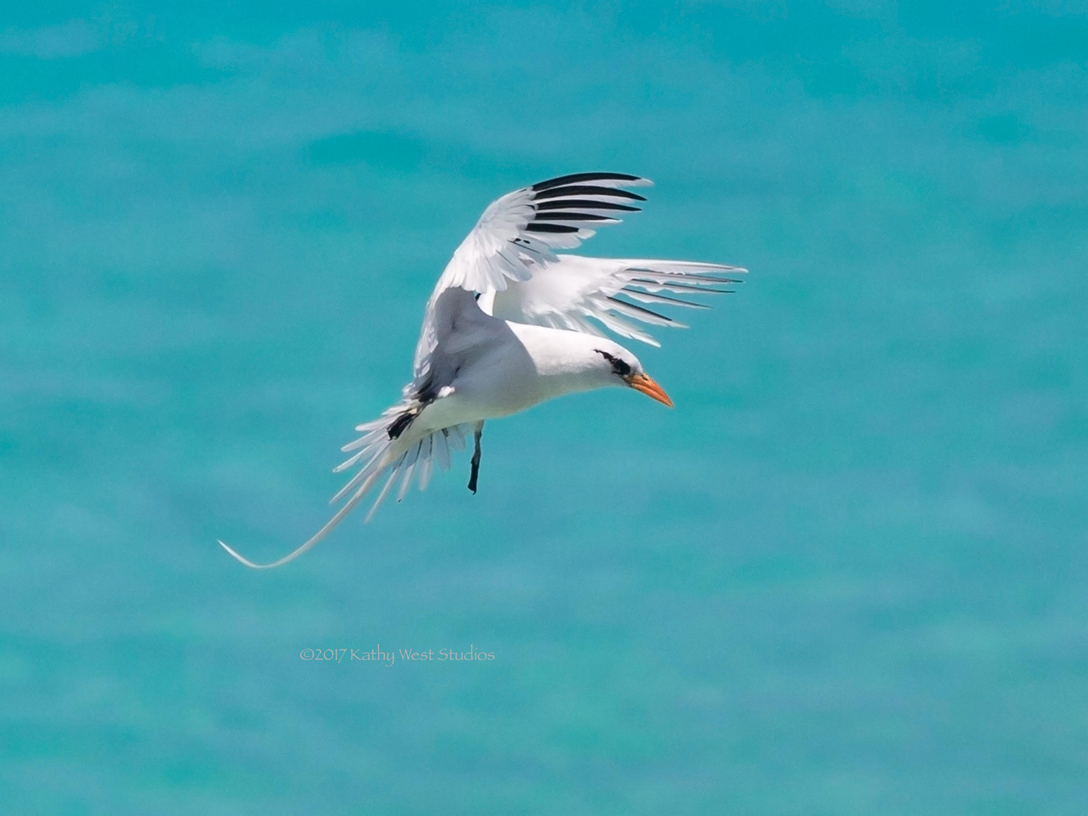 White-tailed Tropicbird (Phaethon lepturus)